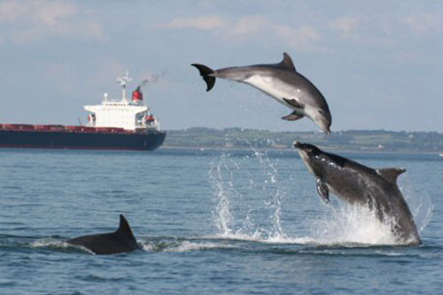 Bottlenose dolphins at play in the Shannon Estuary